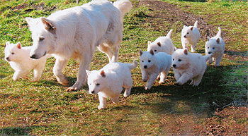 The White Wolves White Swiss Shepherd Breed Puppies For Sale
