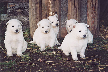 Puppies Witte Schepers