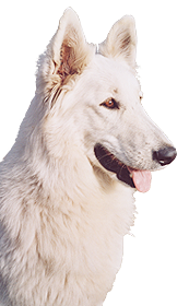 The White Wolves • White Swiss Shepherd breed • Puppies for sale